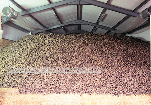 Potato Bulk Ambient Store With Roof Space Heaters. Typical Of Storage Used  For Chipping Potatoes